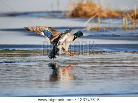 Mallard (Anas platyrhynchos) flying and landing into icy water at a frozen lake in the spring in Finland.