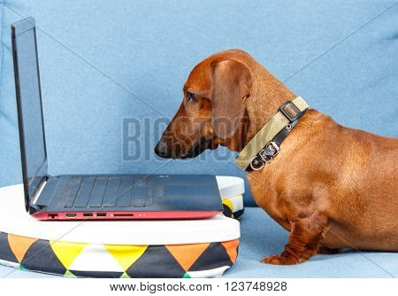 Smart dog gazing at notebook screen on the sofa