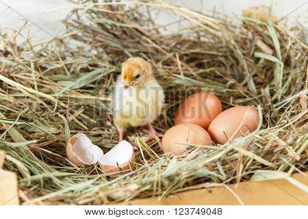 Newborn Chick Looking At Broken Egg Shell On Hay