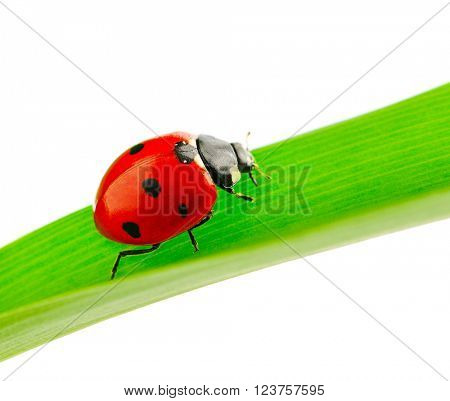 ladybird on green leaf isolated on white