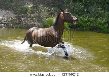 bay horse running swiftly through the water in a spray