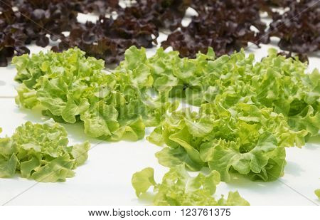 Young red oak green oak cultivation hydroponic green vegetable in farm plant