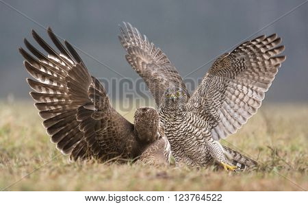Goshawk And Common Buzzard
