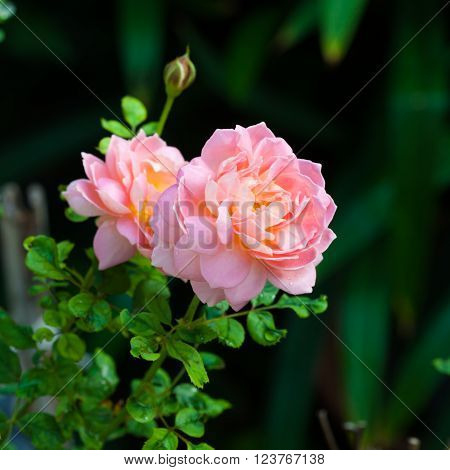 beautiful pink English shrub rose variety