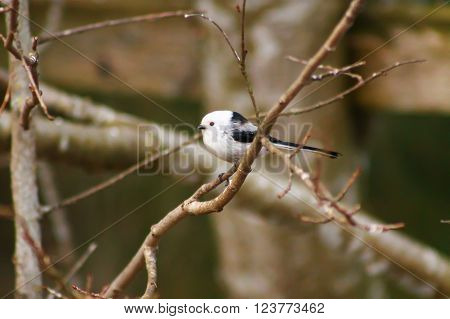 Long-tailed Tit on a branch. This cute bird is Long-tailed Tit and it's spending time on a branch.