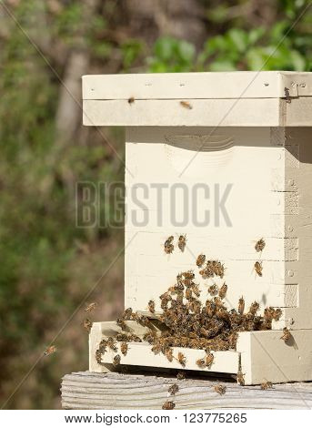 Close up of honey bees crowded atthe  entrance of a nucleus hive.