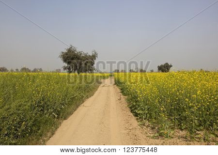 mustard fields with bright yellow flowers along a sandy dusty track in abohar rajasthan under a blue sky