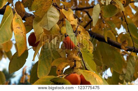 Persimmons ripen in a persimmon tree (Diospyros lotus) during October in Joliet, Illinois.