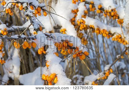 Snow covered berries on a bush of sea-buckthorn. Sunny winter day. Moscow suburbs, Russia.
