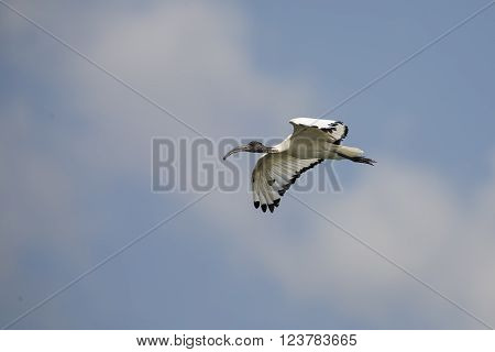 Sacred Ibis in flight isolated against bright blue sky