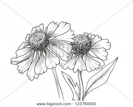 Romantic background with flowers echinaceas isolated on white