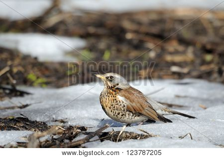 Fieldfare (Turdus pilaris) just after season migration arriving in spring field. Moscow region Russia