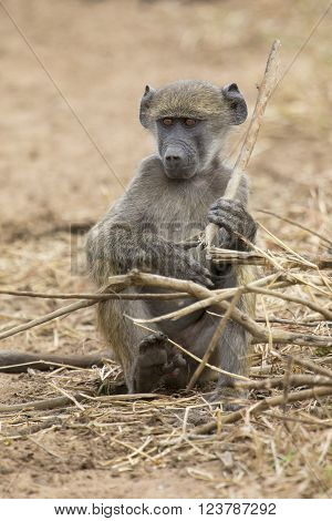 Young baboon sit and play with dry sticks