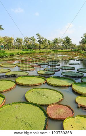 Huge floating lotus,Giant Amazon water lily,Victoria amazonia.
