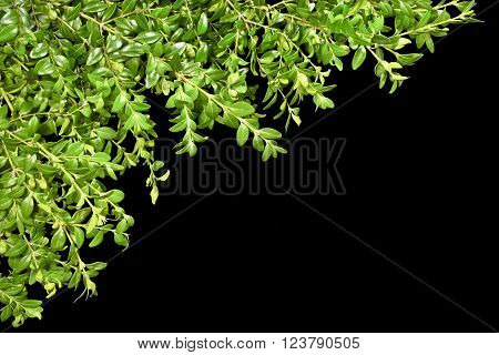 Background with the sprigs of boxwood on a white background. Spring.