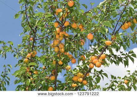 apricots on the apricot tree in august