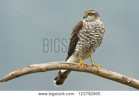 Eurasian sparrowhawk in natural habitat (Accipiter nisus)