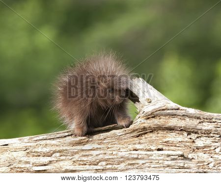 Adorable baby porcupine standing on a log ** Note: Soft Focus at 100%, best at smaller sizes