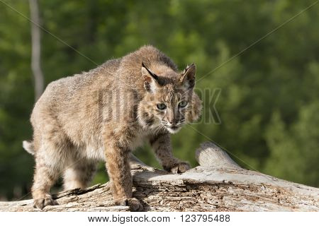 Adult bobcat standing on a log in a partial crouch