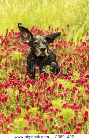 Black dog is running in the red trefoil field