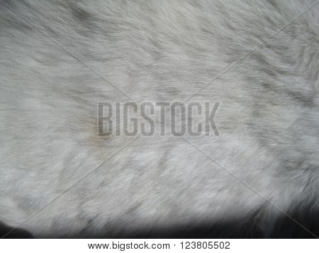 Close up of animal pelt background of furry white