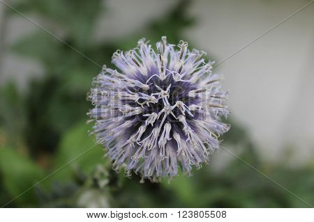 Globe thistle, an abstract of selected focus on the flower head