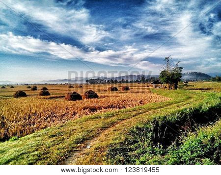 sky and cornfield in thailand my home