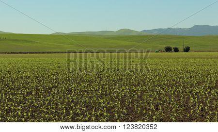 Onion Field on a Sunny California Day