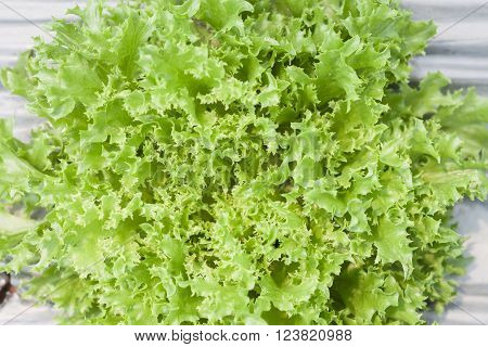Frillice iceberg plant in organic farm, stock photo