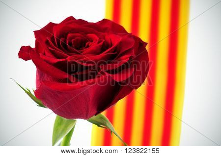 closeup of a natural red rose and the Catalan flag in the background, for the Saint George Day celebrated in Catalonia, Spain, where is tradition to give roses