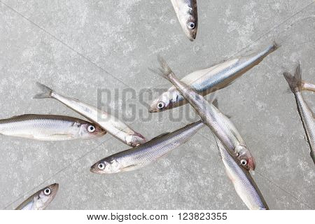 group of fresh smelt fish on the snow