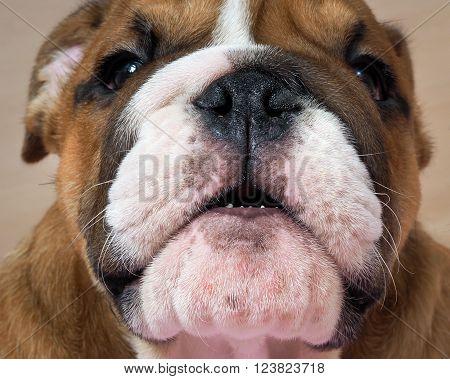 The dog growls. Portrait of an English bulldog