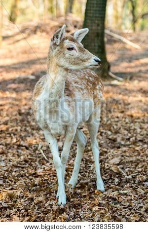 A little Fawn looking at the camera in the middle of the forest ** Note: Visible grain at 100%, best at smaller sizes