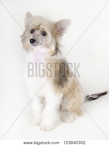 Cute Chinese Crested dog (Powderpuff variety puppy) on a white background
