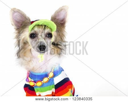Cute Chinese Crested dog (Powderpuff variety puppy) wearing a bright multicolored shirt beads and a hat on a white background with copy space for your text