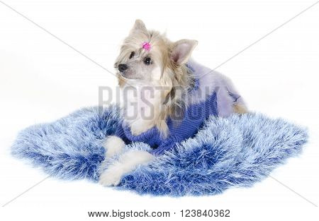 Cute Chinese Crested dog (Powderpuff variety puppy) lying on a blue fur rug