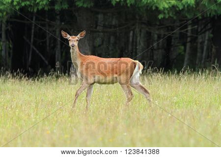 curious red deer doe looking at the camera while passing a clearing ( Cervus elaphus )