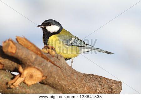 great tit standing in the garden ( Parus major )