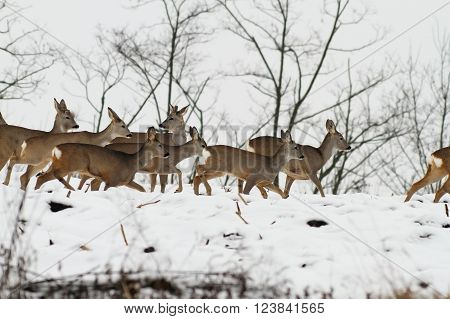 herd of roe deers running on snow in an overcast winter day ( Capreolus capreolus )