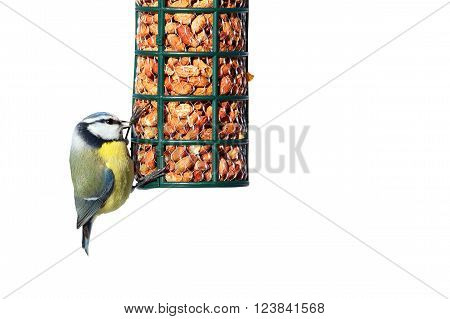 blue tit on garden feeder full of peanuts isolated over white background ( Cyanistes caeruleus )