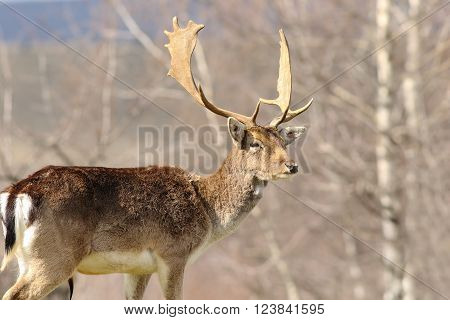 majestic fallow deer stag standing proud in a clearing ( Dama dama )