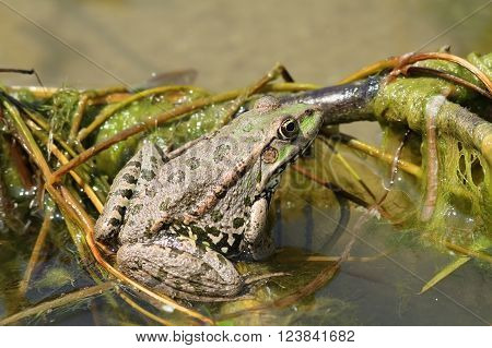 marsh frog on a twig above water ( Pelophylax ridibundus )