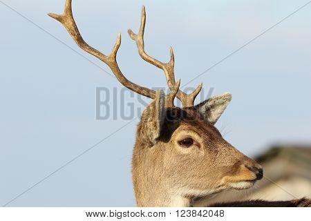 portrait of young fallow deer over blue sky ( Dama dama )