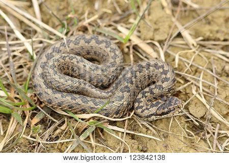 vipera ursinii rakosiensis basking in natural habitat ( meadow adder )