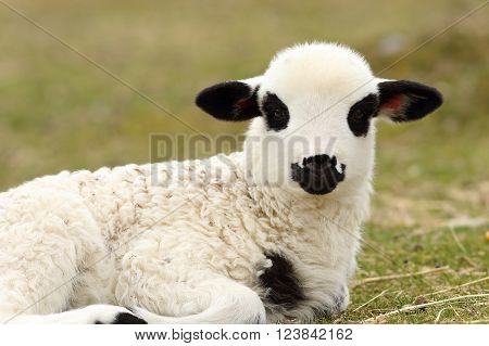 white lamb standing on green lawn looking at the camera