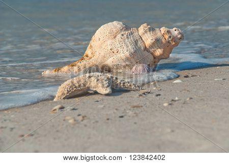 Sea shell on the bank of the Gulf of Mexico Florida USA