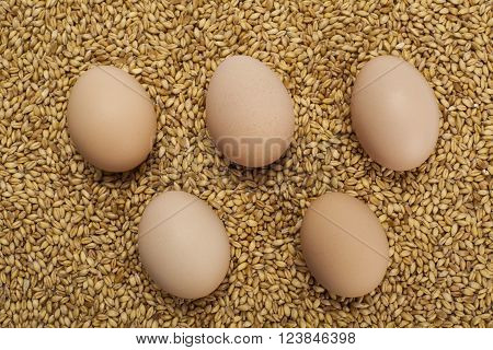 five chicken eggs standing on wheat grains
