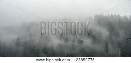 breathtaking panorama of pine wood in fog