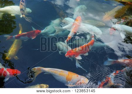 Koi fish or 'Nishikigoi' - ornamental varieties of the domesticated common carp (Cyprinus carpio) - swim in a pond at Tirtha Empul Temple in Bali Indonesia.
