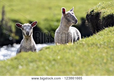 Two lambs peering over the edge of a river bank